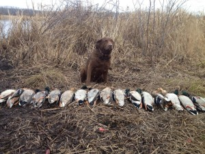 Widgeon_mallards11-3-14
